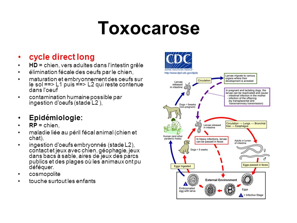 Toxocarose cycle direct long Epidémiologie: