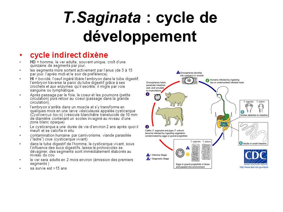 T.Saginata : cycle de développement