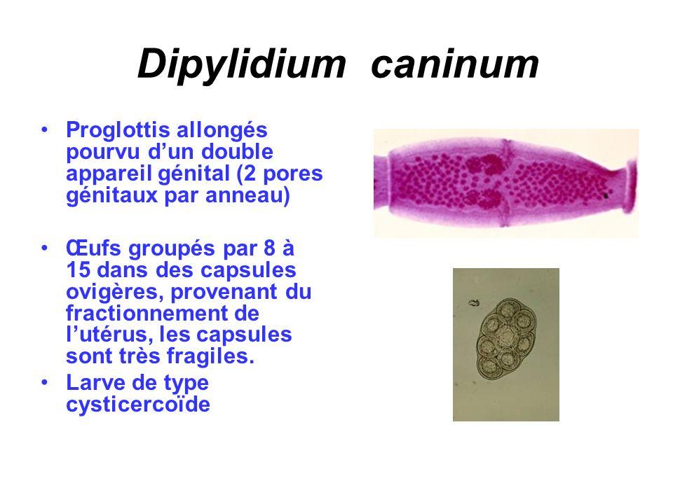 Dipylidium caninum Proglottis allongés pourvu d'un double appareil génital (2 pores génitaux par anneau)