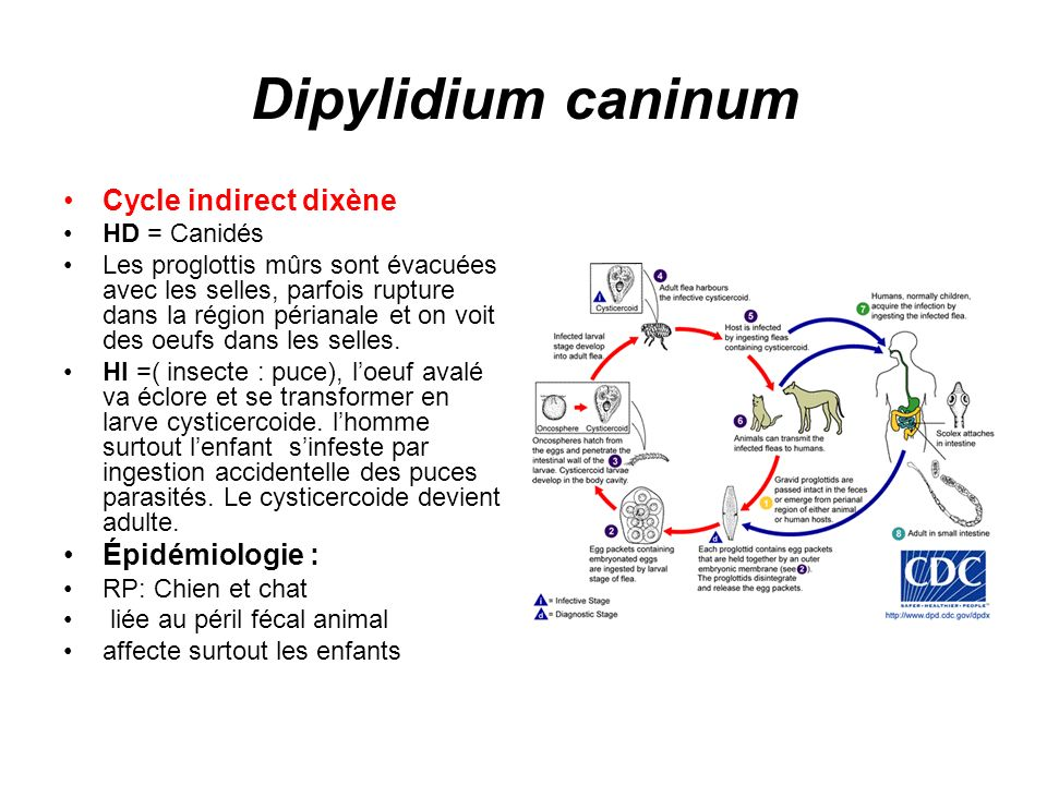 Dipylidium caninum Cycle indirect dixène Épidémiologie : HD = Canidés