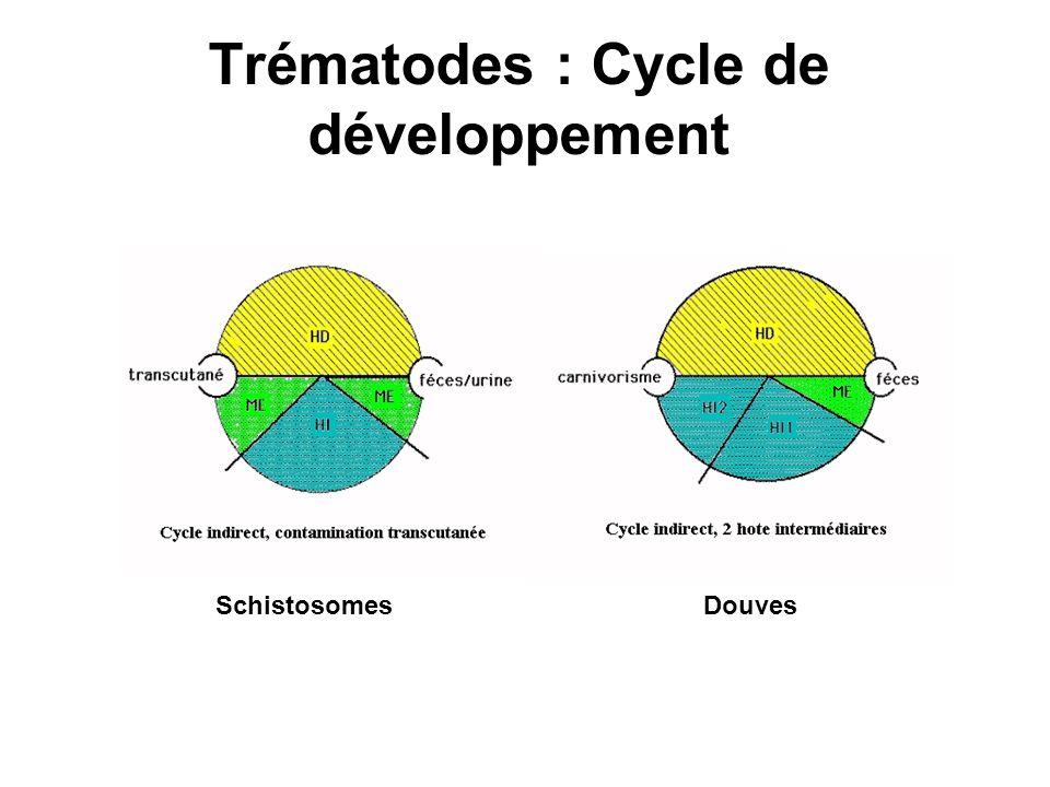 Trématodes : Cycle de développement