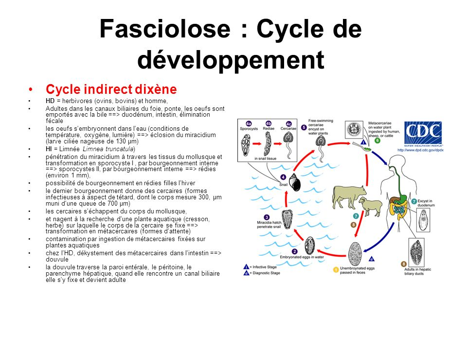 Fasciolose : Cycle de développement