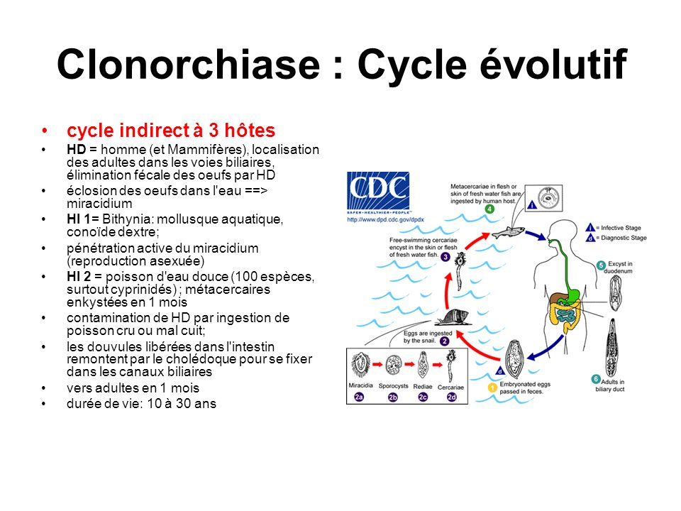 Clonorchiase : Cycle évolutif
