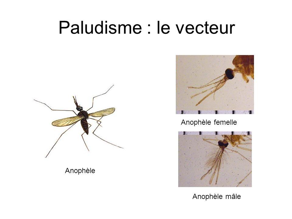 Paludisme : le vecteur Anophèle femelle Anophèle Anophèle mâle