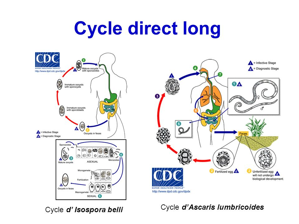 Cycle direct long Cycle d'Ascaris lumbricoides Cycle d' Isospora belli