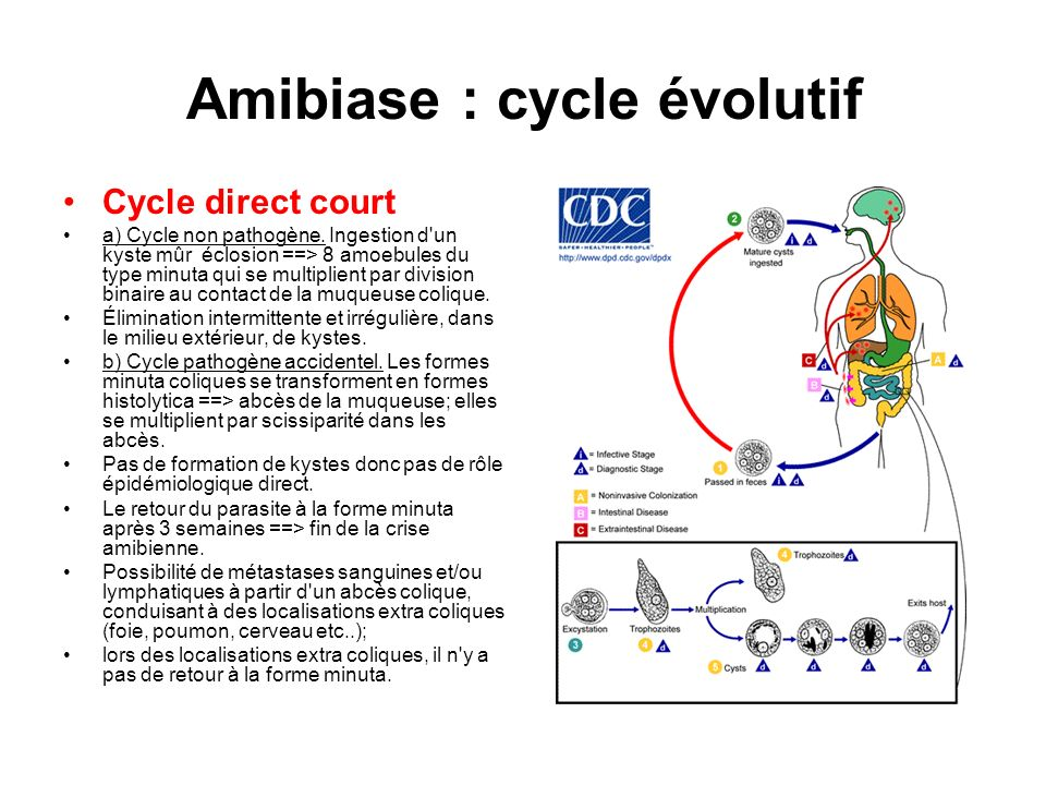 Amibiase : cycle évolutif