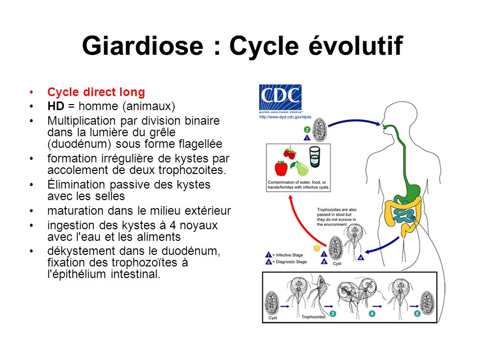 Giardiose : Cycle évolutif
