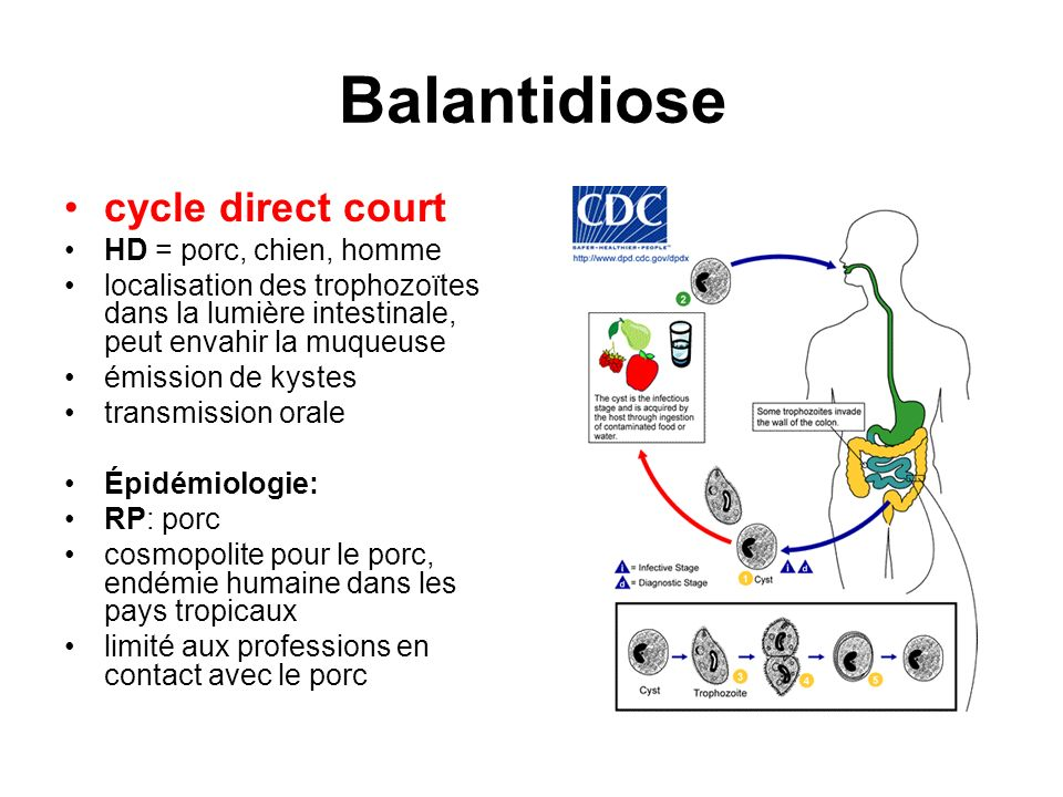 Balantidiose cycle direct court HD = porc, chien, homme