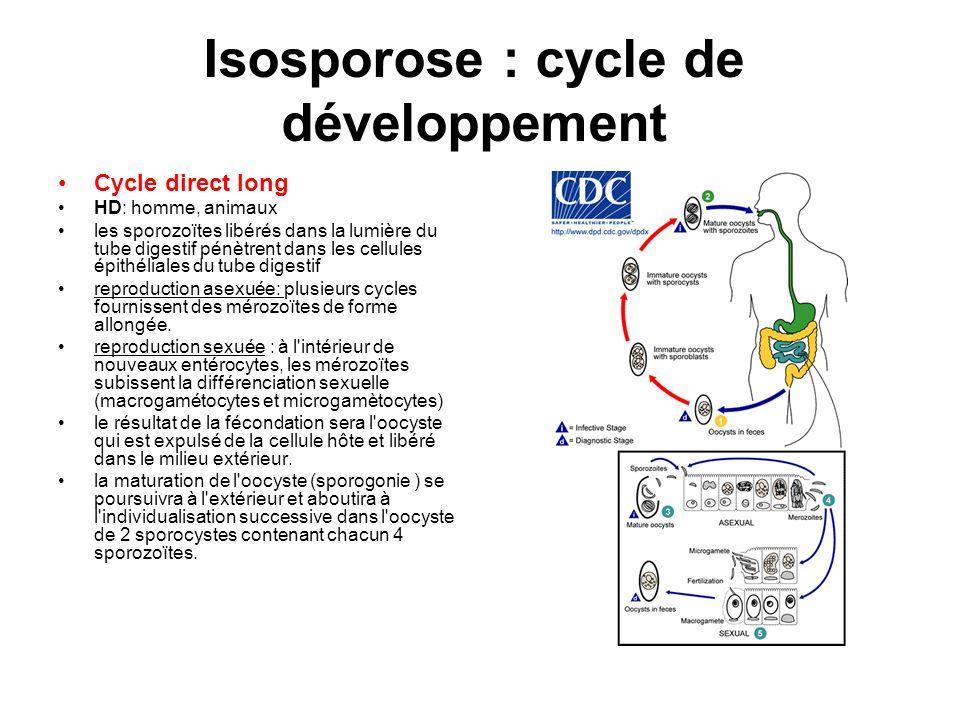 Isosporose : cycle de développement