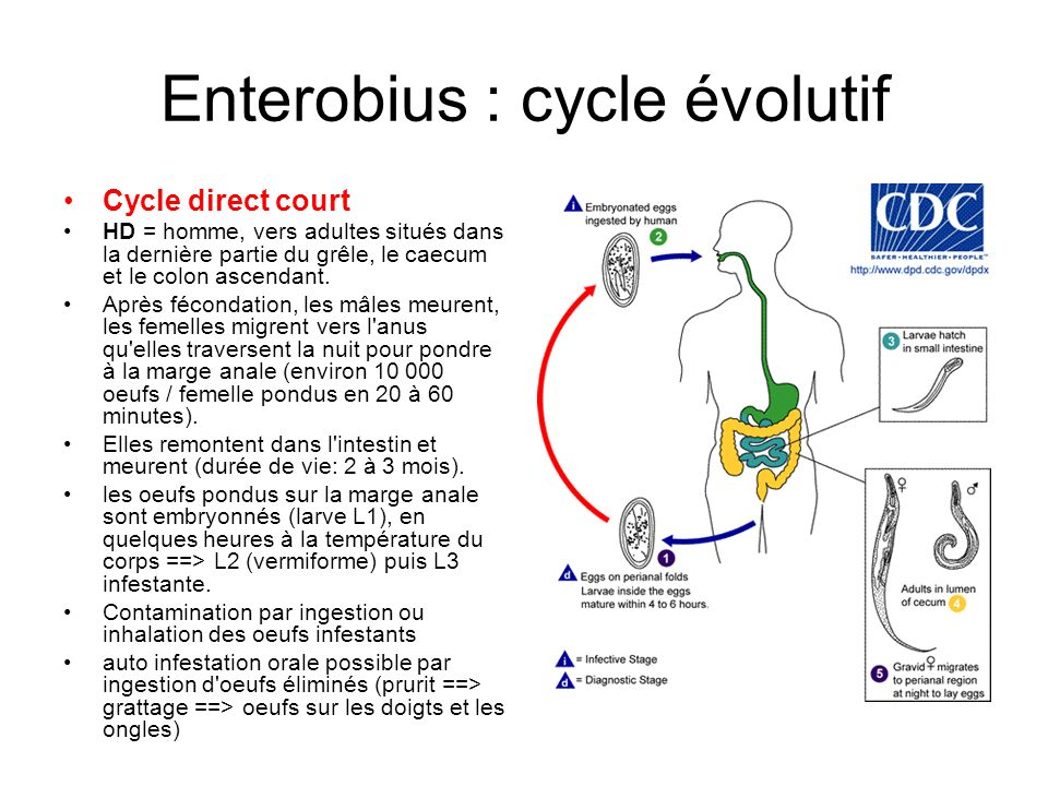 Enterobius : cycle évolutif