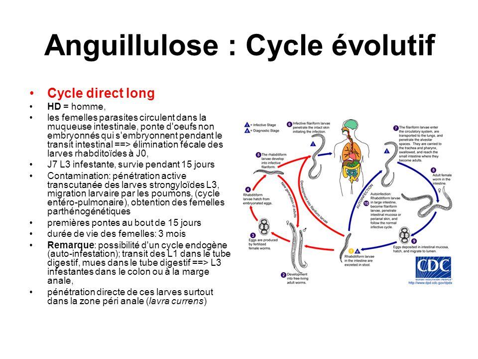 Anguillulose : Cycle évolutif