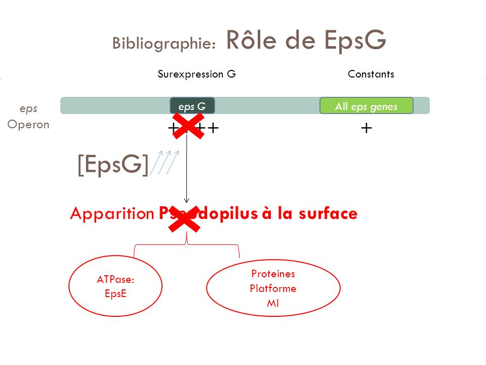 Bibliographie: Rôle de EpsG