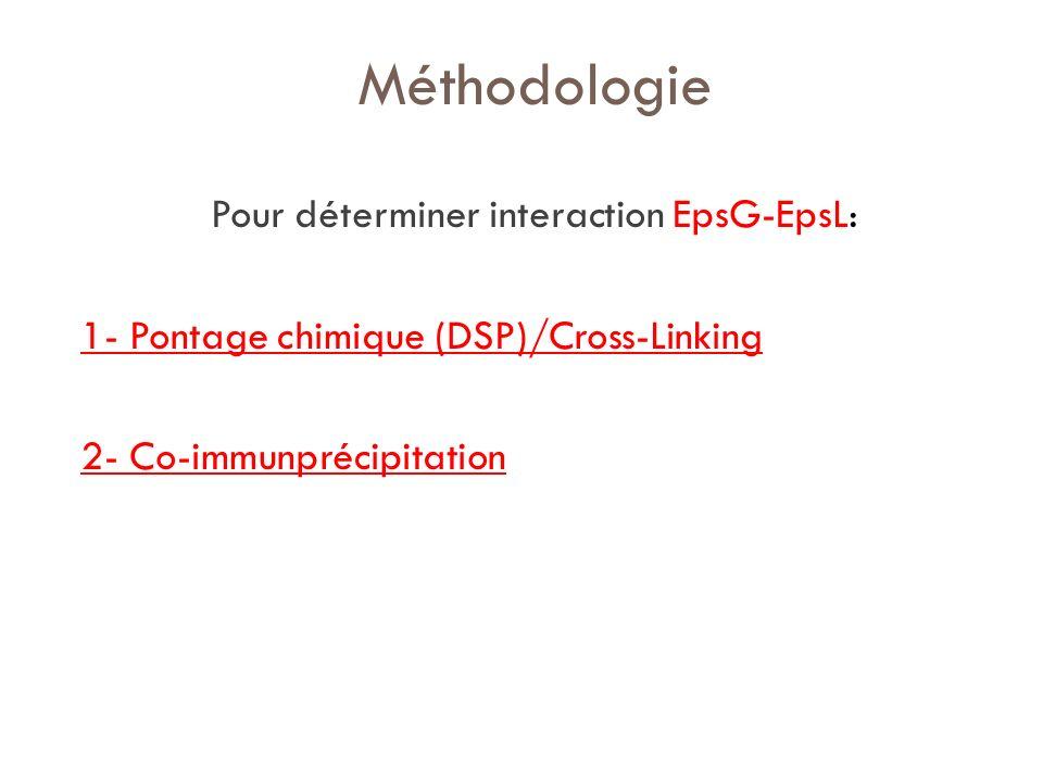 Pour déterminer interaction EpsG-EpsL: