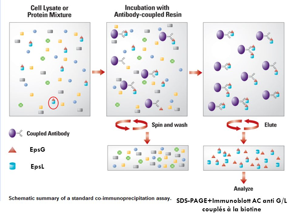 SDS-PAGE+Immunoblott AC anti G/L couplés à la biotine