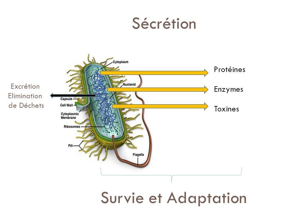 Sécrétion Survie et Adaptation Protéines Enzymes Toxines Excrétion