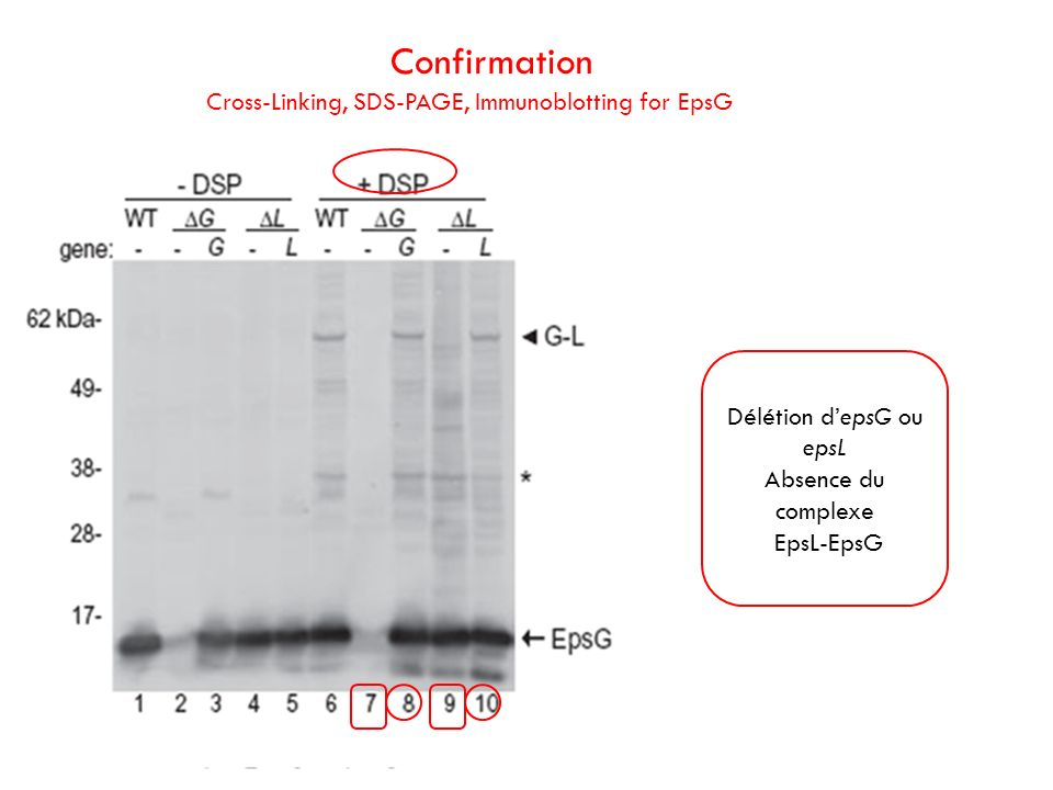 Confirmation Cross-Linking, SDS-PAGE, Immunoblotting for EpsG