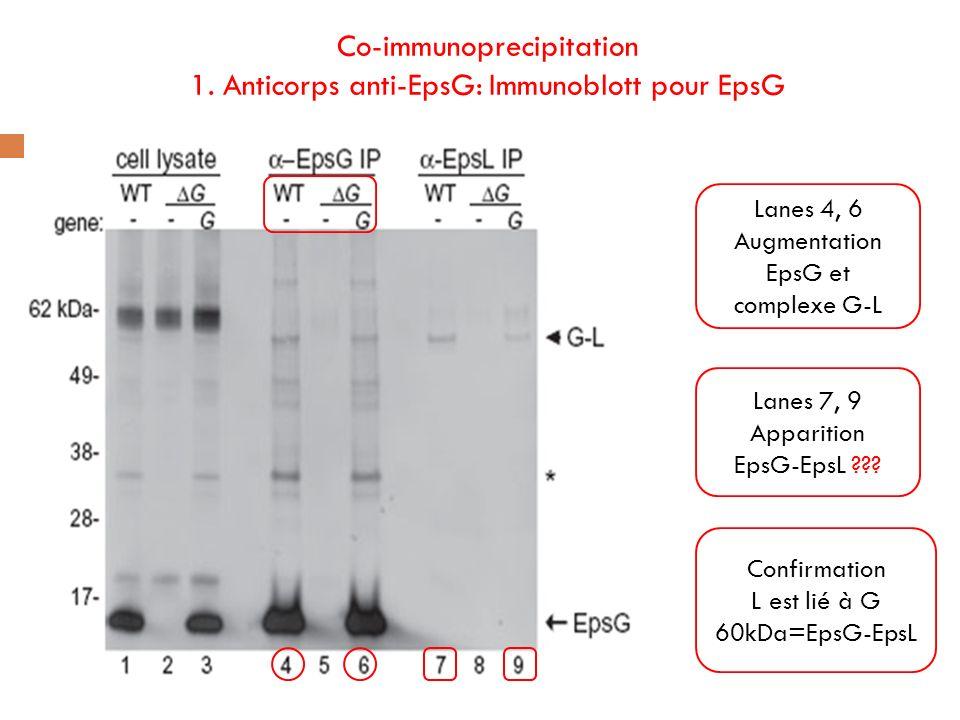 Co-immunoprecipitation 1. Anticorps anti-EpsG: Immunoblott pour EpsG