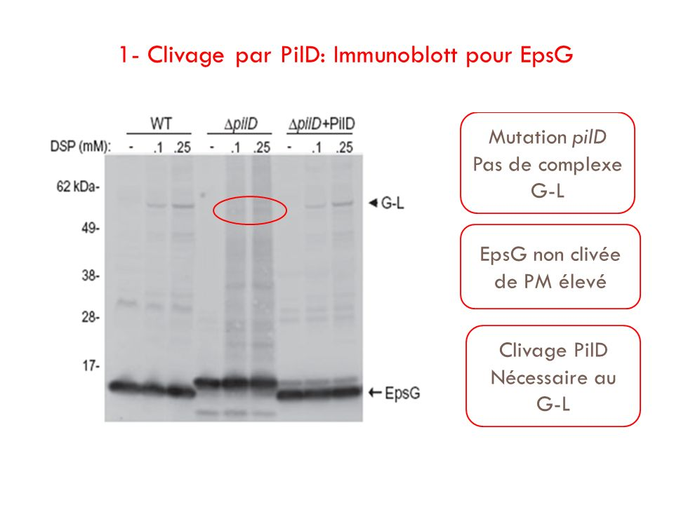 1- Clivage par PilD: Immunoblott pour EpsG