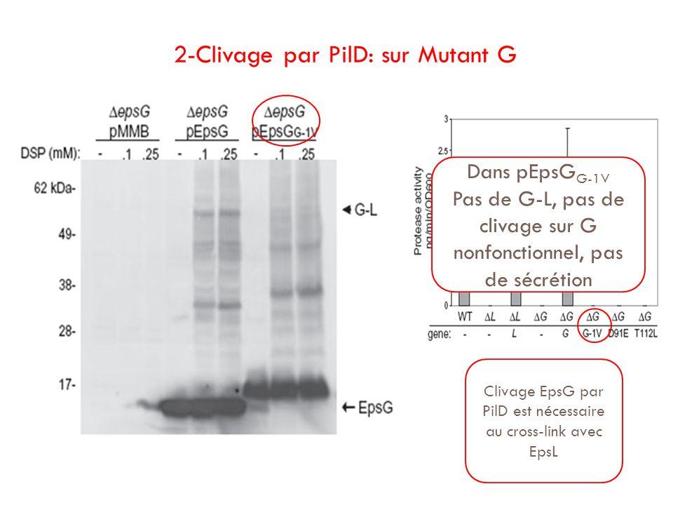 2-Clivage par PilD: sur Mutant G