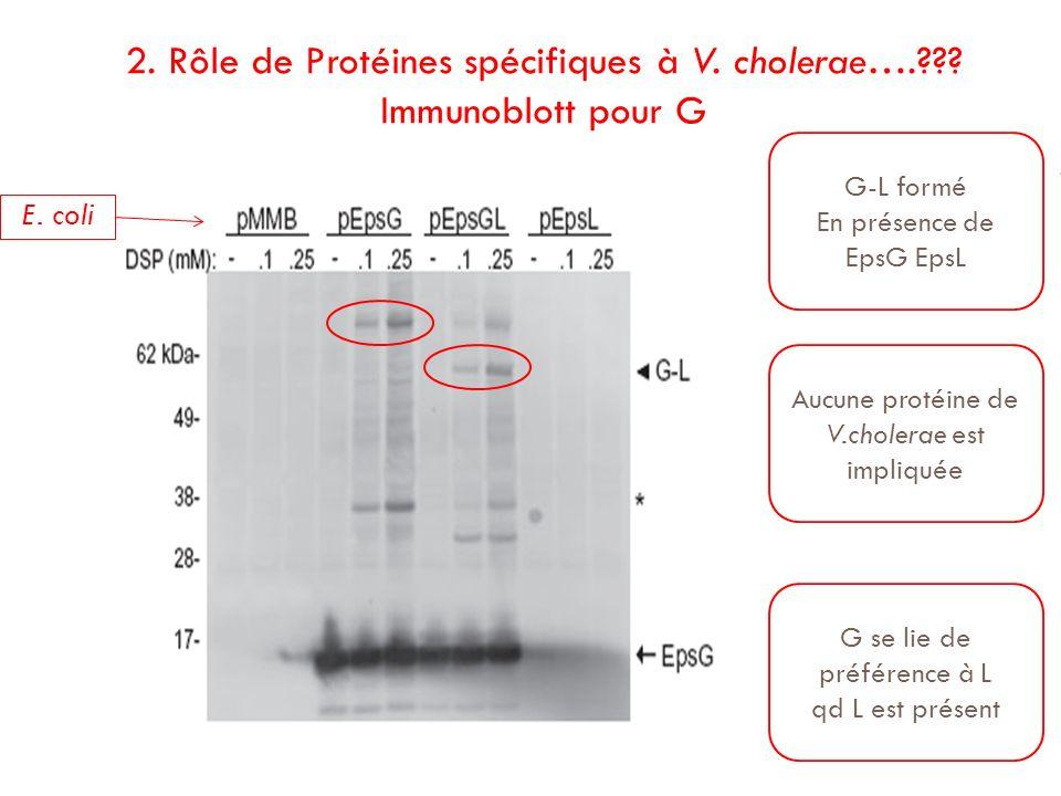 2. Rôle de Protéines spécifiques à V. cholerae…. Immunoblott pour G