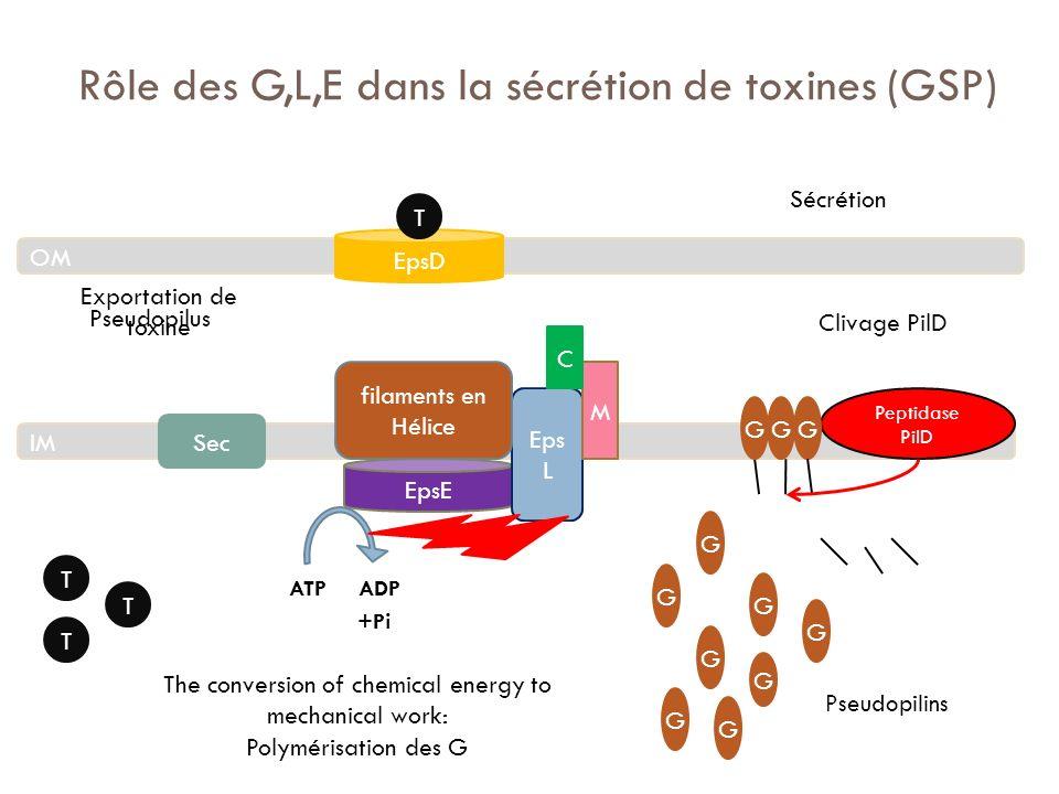 Rôle des G,L,E dans la sécrétion de toxines (GSP)