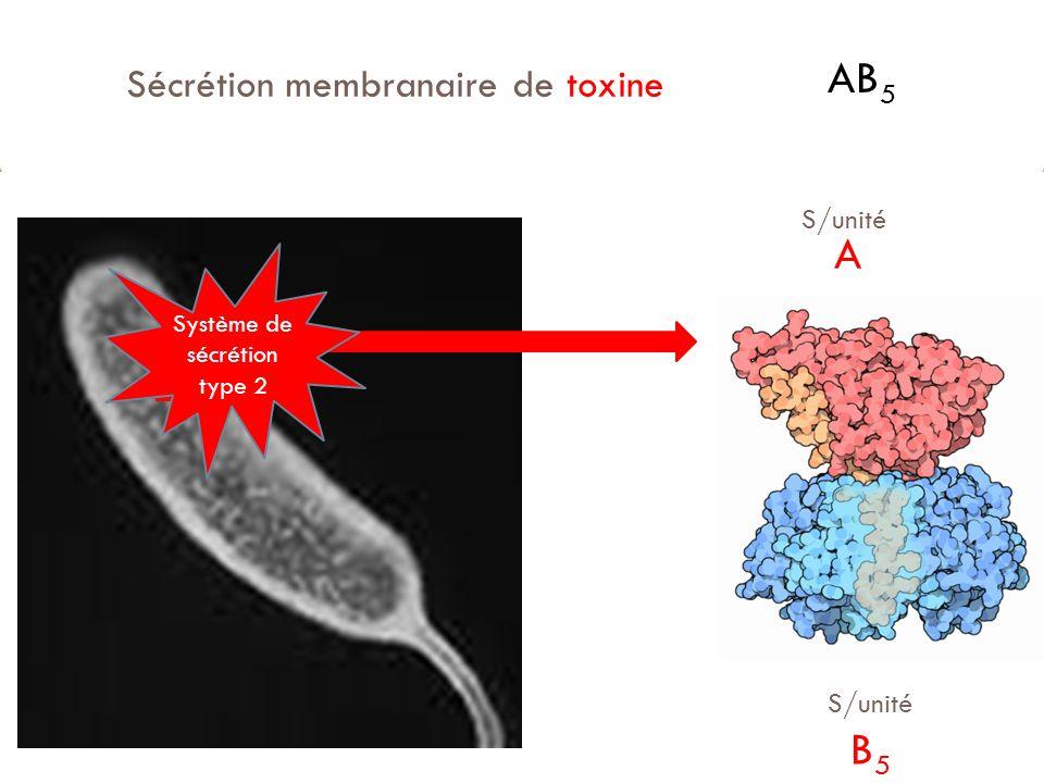 Sécrétion membranaire de toxine