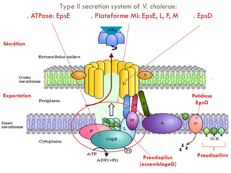 Type II secretion system of V. cholerae:. ATPase: EpsE