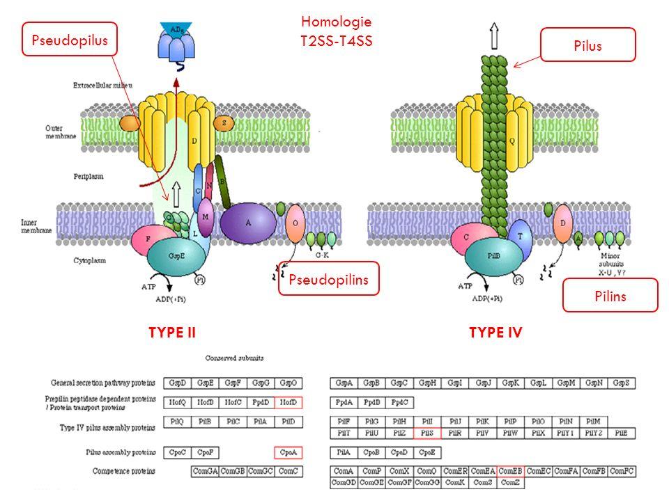 Homologie T2SS-T4SS Pseudopilus Pilus Pseudopilins Pilins TYPE II TYPE IV