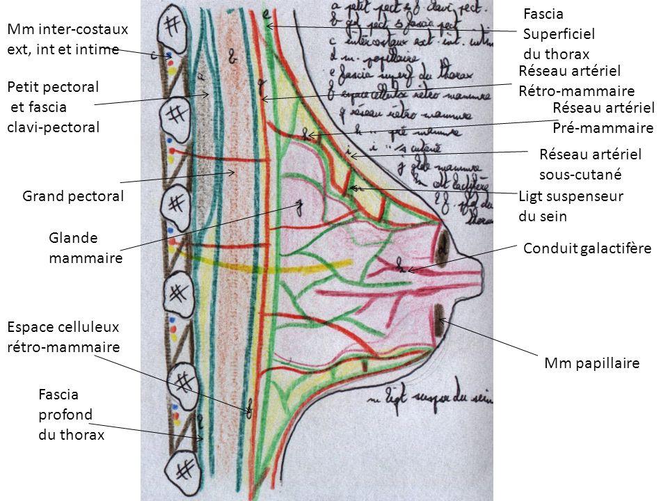 Fascia Superficiel. du thorax. Mm inter-costaux. ext, int et intime. Réseau artériel. Rétro-mammaire.