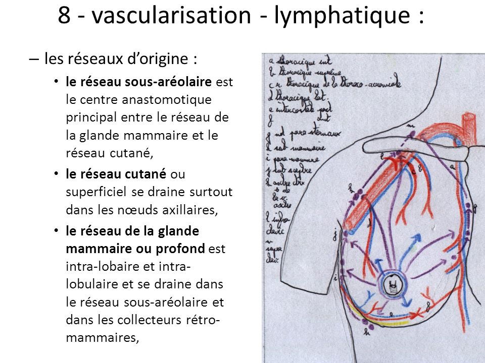 8 - vascularisation - lymphatique :