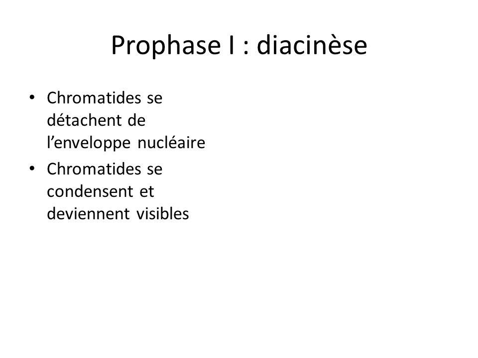 Prophase I : diacinèse Chromatides se détachent de l'enveloppe nucléaire.