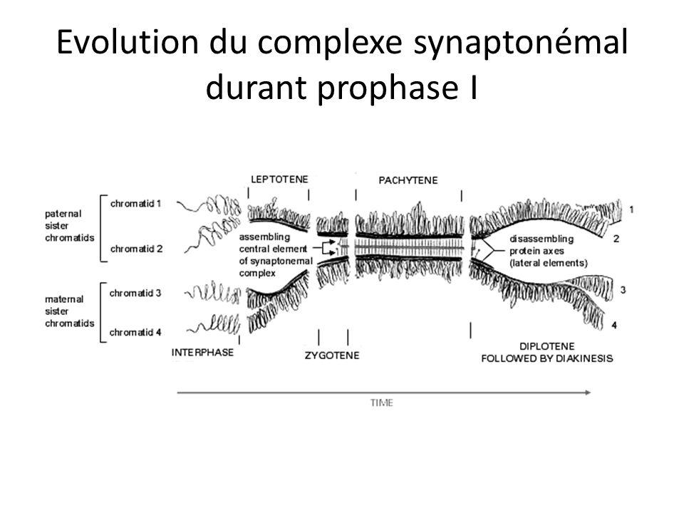 Evolution du complexe synaptonémal durant prophase I