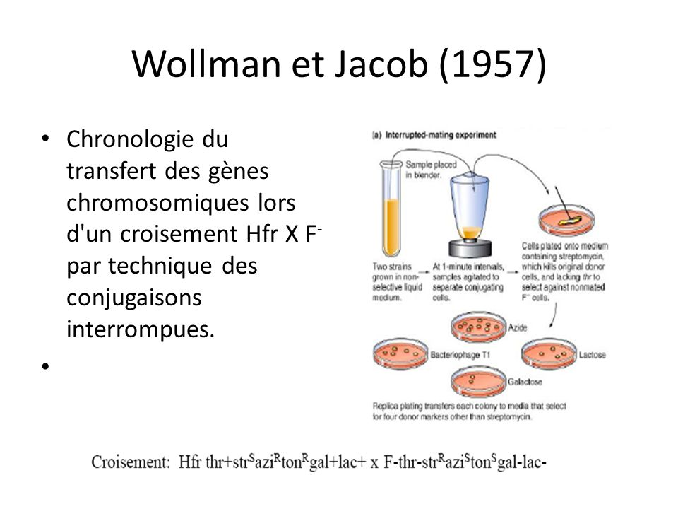 Wollman et Jacob (1957) Chronologie du transfert des gènes chromosomiques lors d un croisement Hfr X F- par technique des conjugaisons interrompues.