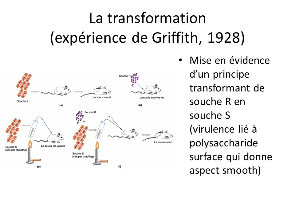 La transformation (expérience de Griffith, 1928)