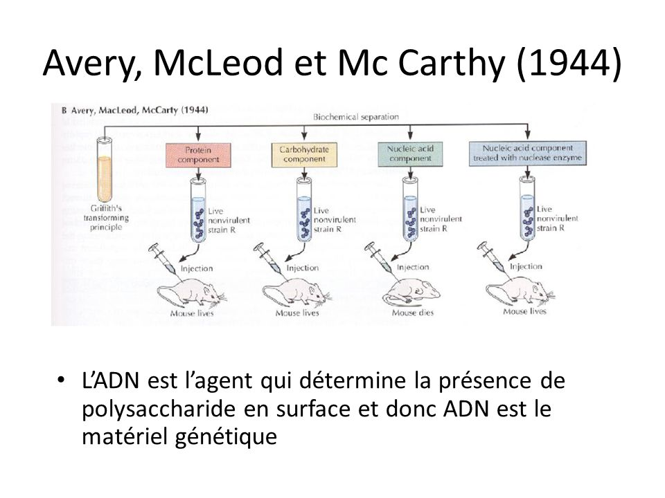 Avery, McLeod et Mc Carthy (1944)