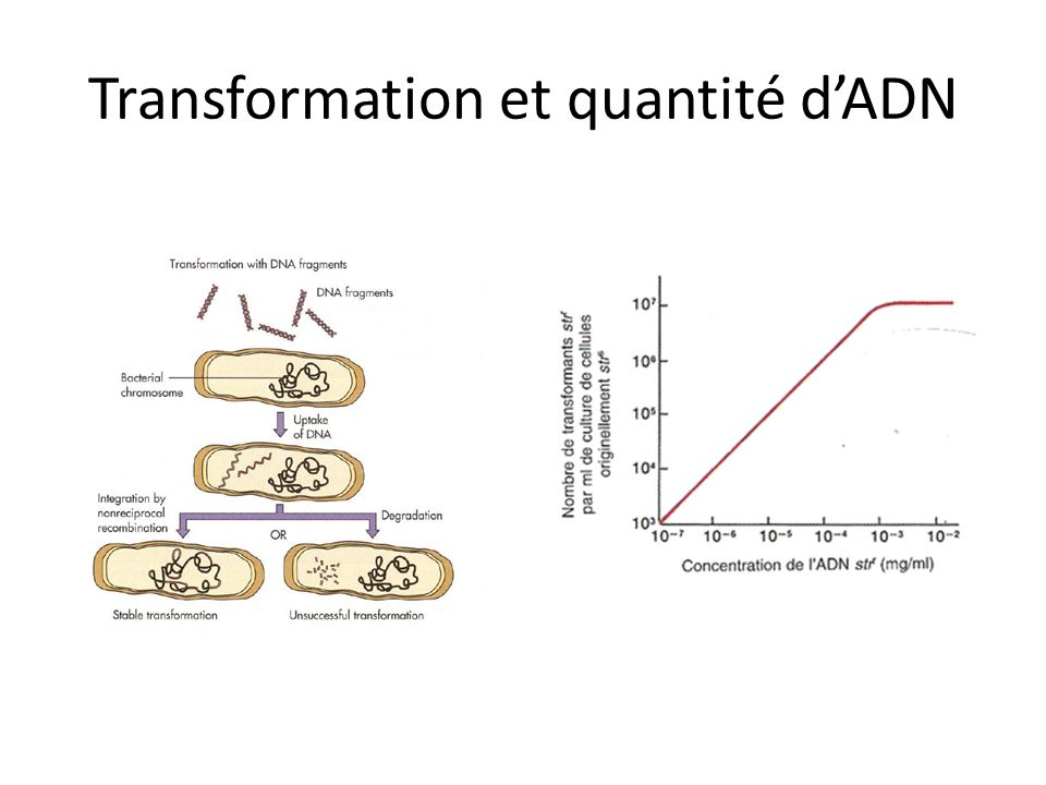 Transformation et quantité d'ADN