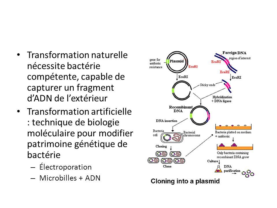 Transformation naturelle nécessite bactérie compétente, capable de capturer un fragment d'ADN de l'extérieur