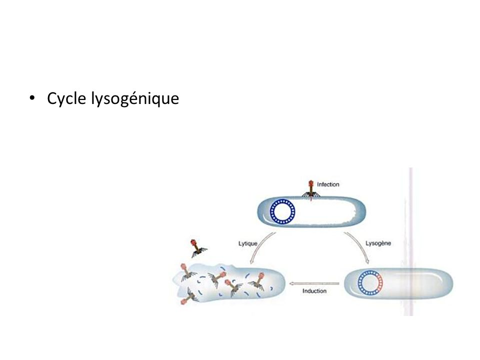 Cycle lysogénique