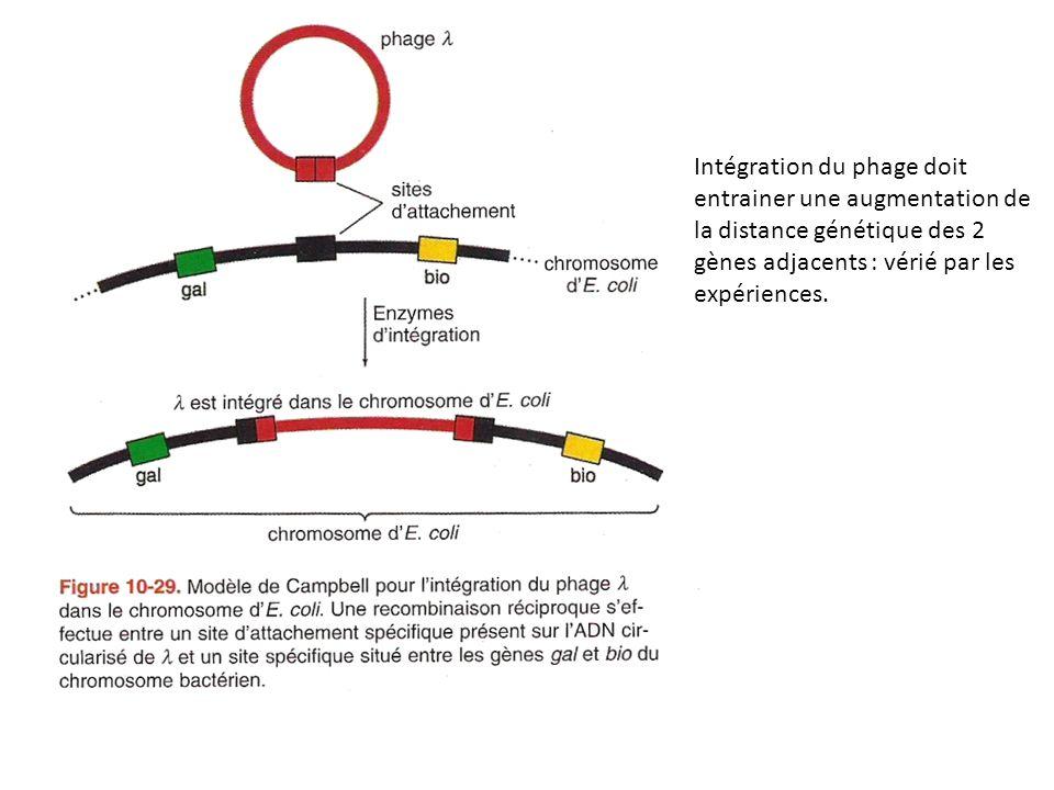 Intégration du phage doit entrainer une augmentation de la distance génétique des 2 gènes adjacents : vérié par les expériences.