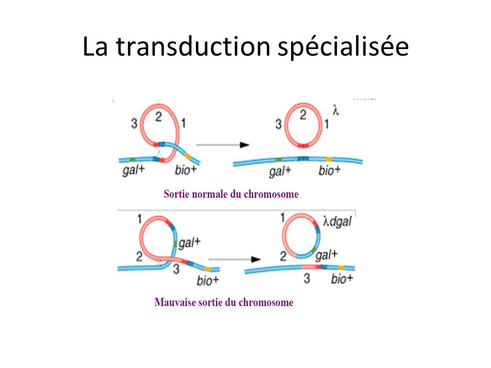 La transduction spécialisée