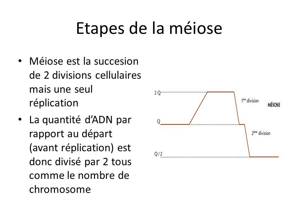 Etapes de la méiose Méiose est la succesion de 2 divisions cellulaires mais une seul réplication.