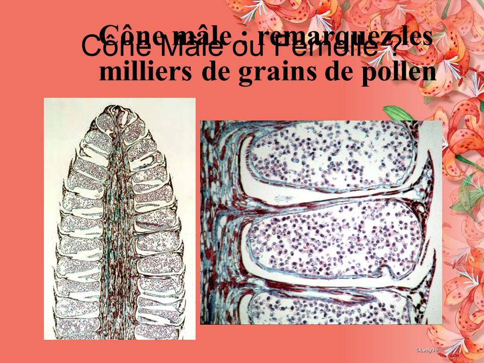 Cône Mâle ou Femelle Cône mâle : remarquez les milliers de grains de pollen