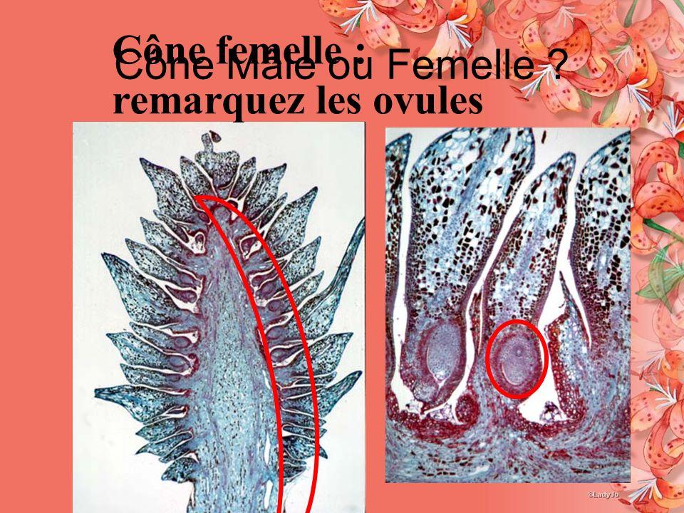 Cône Mâle ou Femelle Cône femelle : remarquez les ovules