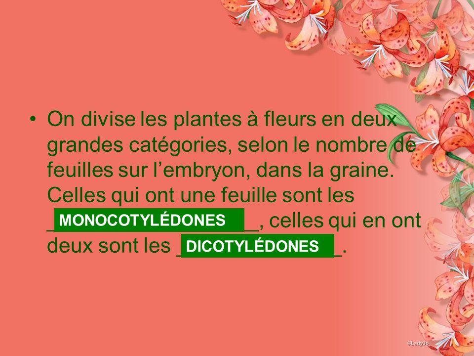 On divise les plantes à fleurs en deux grandes catégories, selon le nombre de feuilles sur l'embryon, dans la graine. Celles qui ont une feuille sont les __________________, celles qui en ont deux sont les ______________.