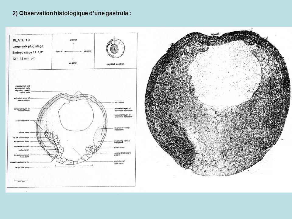 2) Observation histologique d'une gastrula :