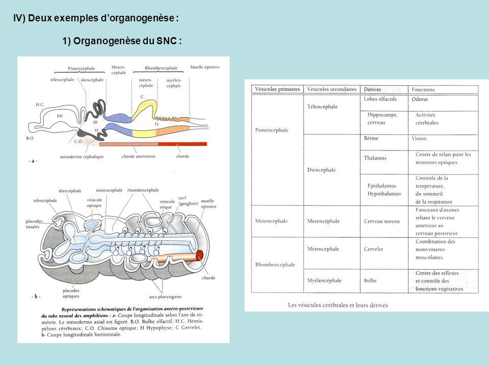IV) Deux exemples d'organogenèse :