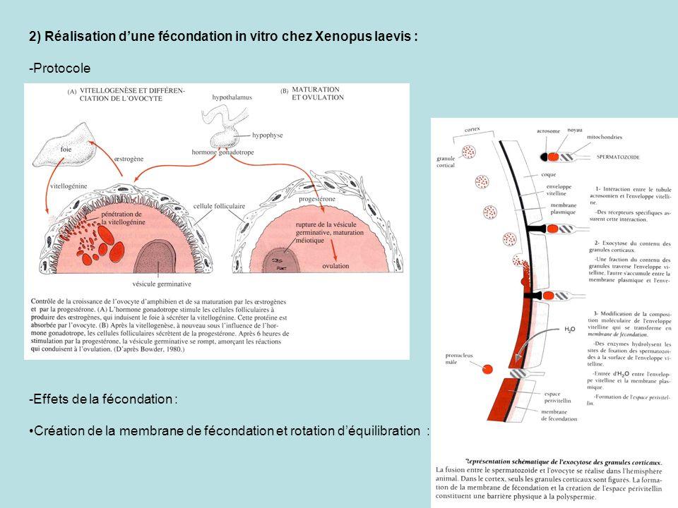 2) Réalisation d'une fécondation in vitro chez Xenopus laevis :