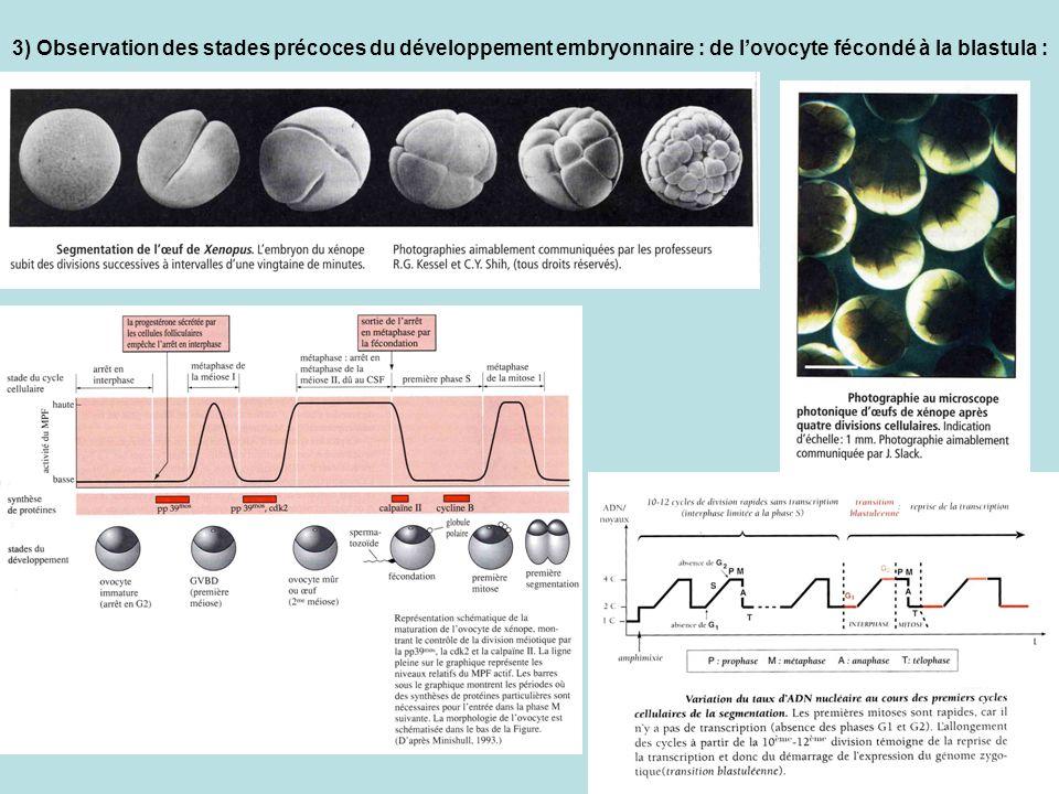 3) Observation des stades précoces du développement embryonnaire : de l'ovocyte fécondé à la blastula :