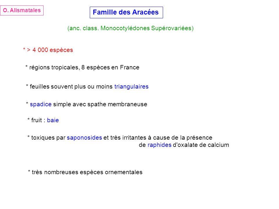 Famille des Aracées (anc. class. Monocotylédones Supérovariées)