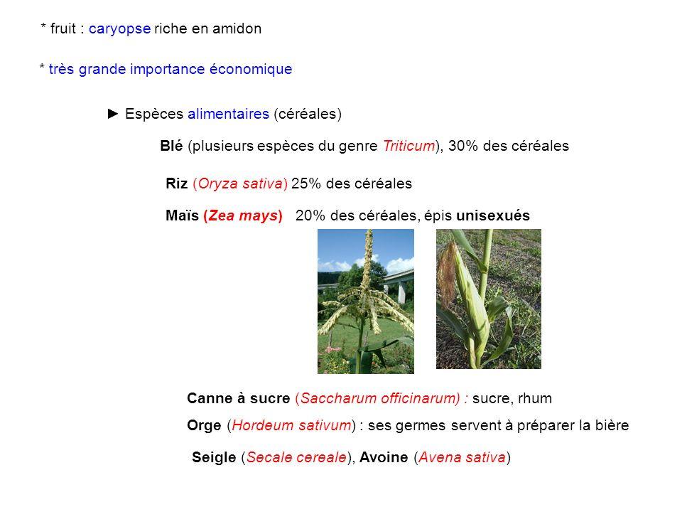 Blé (plusieurs espèces du genre Triticum), 30% des céréales